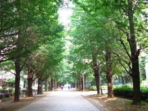Ginkgo alley at Todai (Komaba campus)